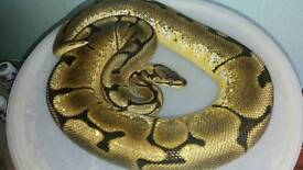 Spider yellow-belly royal python