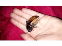 X4 giant pet cockroaches for £20. £5 each