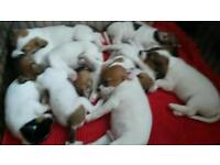 parson jack russell pups for sale