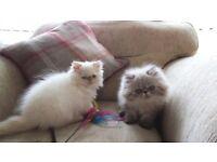 Pedigree persian kittens