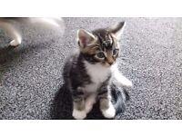 Beautiful bengal cross kittens for sale