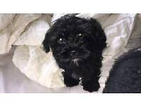 2 gorgeous and playful black puppies for sale
