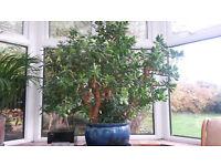Mature LARGE money tree house plant Crassula ovata