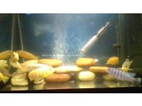 9 MIXED MALAWIS FOR SALE, BEAUTIFUL FISH,