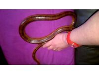 Two Corn Snakes for sale - one Carolina Corn snake and one Ameline both beautifully marked