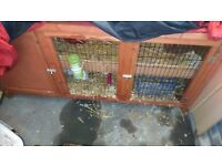 2 female rabbits with hutch
