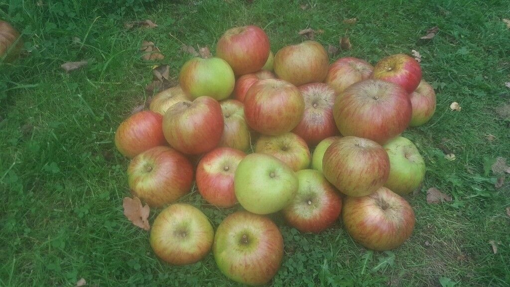 Bramley Cooking Apples - beautiful fresh and organic