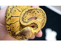 Ball python's