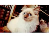 Ragdoll Kittens - Blue Colour Point