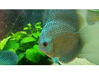 2 Blue Scorpion Snakeskin DISCUS FISH