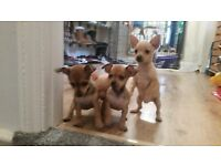 Chipin puppies (min pincher x chihuahua)