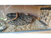 Male sunkissed corn snake. Approx 3 1/2 years