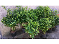 around 20 large clipped/shaped Box hedging plants