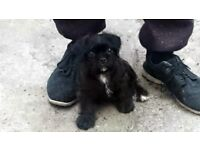Pugapoo x puganese pup only one left - female