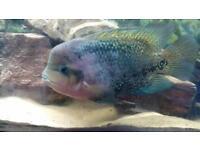 Veja fish 50 Ono