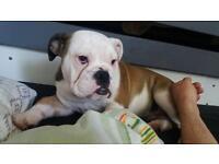 English bulldog puppy URGENT