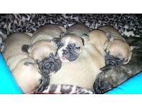 French Bulldog, to go from 10 September ,parents KC registered