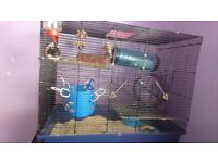 4 dumbo female rats with large cage