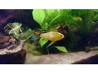Trio of Apistogramma Cacatuiodes Fish for Aquarium Fish Tank