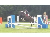 Stunning Tobiano Coloured Mare 16.1hh Good Allrounder