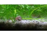 PINK-BROWNISH Ramshorn snails