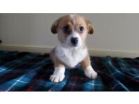 Welsh Cardigan Corgi Puppies Red and White