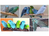 Top Parrotlets And Brand New Cages