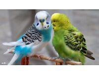 Exhibition and Pet Budgies For Sale - Beautiful colours young 2017 birds