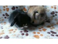 Pedigree mini lop baby available now