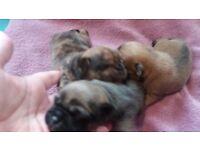 Pug/ Chihuahua puppy girl s