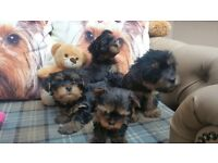 4 beautiful Yorkshire terrier puppies for sale