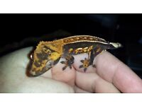 Absolutely stunning high end harlequin pinstripe baby crested gecko with awesome structure & lineage