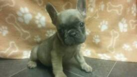 French bulldogs. Only 2 boys left.