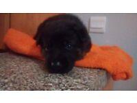 Pedigree German Shepherd puppies for sale!!!