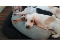Basset hound puppies lemon and white 700 ono