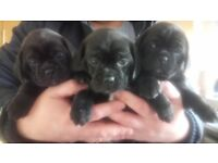 Beautiful Litter Of Puggles *1 left*