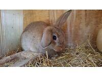 Mini lop cross netherland dwarf baby rabbit