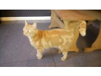 Ginger adult male cat