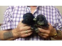 FOUR MINIATURE SCHNAUZERS PUPPIES FOR SALE