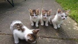 Kittens for sale, 3 male 1 girl