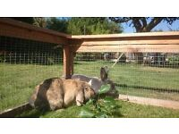 Rabbits with hutch, run and food