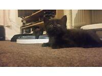 2 beautiful black kittens