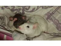 7 month old rats