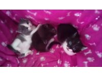 Kittens two girls one boy housetrained