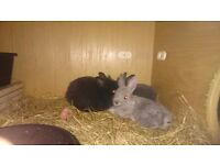 READY NOW Baby Netherland Dwarf x Lionhead rabbits for sale