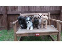 jack russel cross chihuahua puppies
