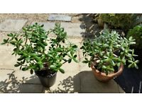 MONEY PLANTS, choice of two, very healthy plants, for sale due to downsizing