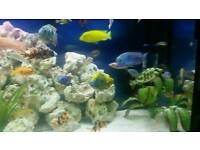 Malawi cichlids for 5