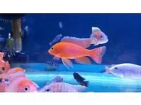Malawi Cichlids Chiclids tropical fish NOT marine