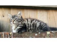 Half main-coon kitten